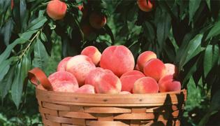 送桃子的寓意