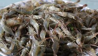 捞河虾用什么饵料