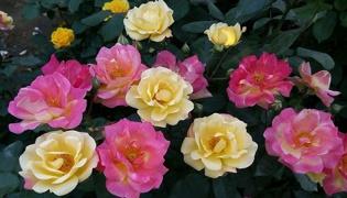 月季花栽培技术是什么