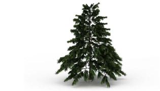 长青树有哪几种