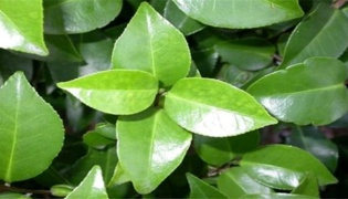 茶花干叶子是什么原因