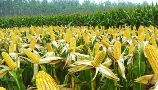 霜来了对玉米有什么影响