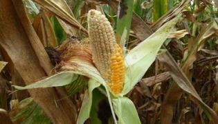 玉米秃尖产生的原因