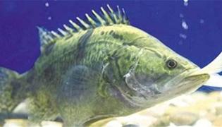 季花鱼怎么钓