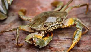 奄仔蟹是什么