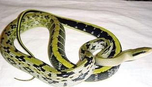 黑眉锦蛇是几级保护动物