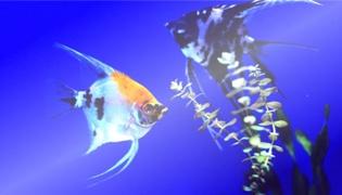 燕子鱼能长多大