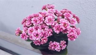 三角梅秋季会开花吗