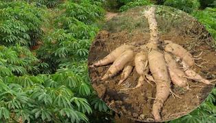 木薯怎么煮才没有毒