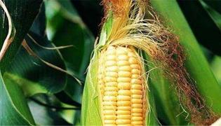 玉米须禁忌
