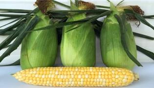 玉米包衣壳是什么垃圾