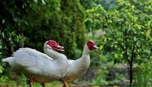 番鸭不适合哪些人群吃