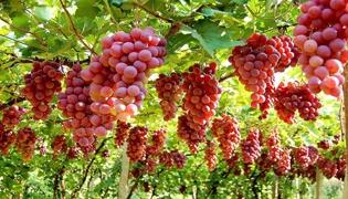 吐鲁番地区的葡萄什么时候成熟