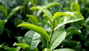 大叶子茶叶是什么茶