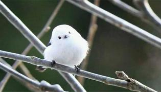银喉长尾山雀吃什么鸟粮