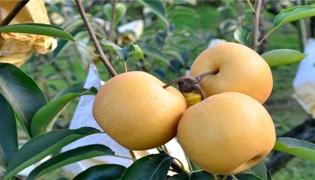 秋水梨和丰水梨的区别
