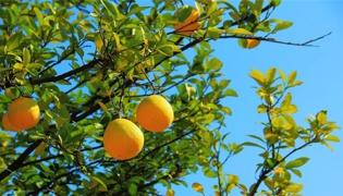 香柚树的果实能吃吗