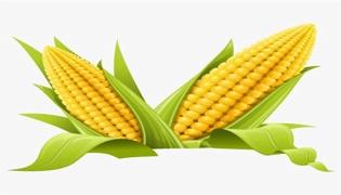 玉米是什么季节的产物