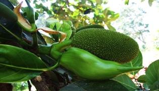 菠萝蜜树苗怎样种植