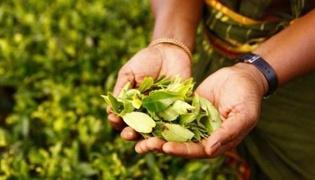 什么是锡兰红茶
