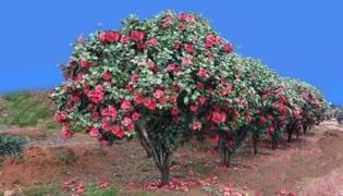 茶花的养殖方法和注意事项