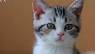 什么是起司猫