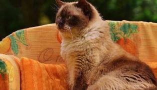 波斯猫是什么