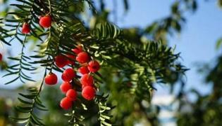 紅豆杉怎么養