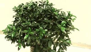 平安樹的養殖方法和注意事項