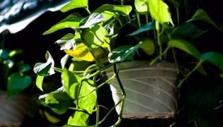 綠蘿的養殖方法和注意事項