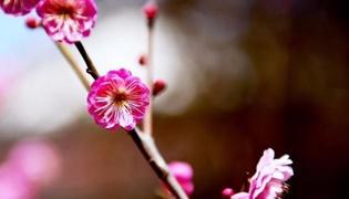 中国的国花是什么