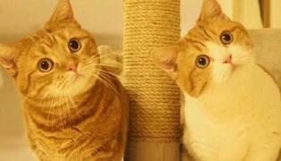 短腿猫是什么品种