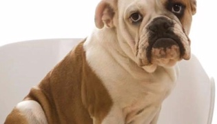 什么是英国斗牛犬
