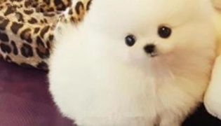 袖珍狗是什么品种