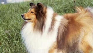 什么是喜乐蒂牧羊犬