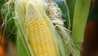 玉米须的功效与作用