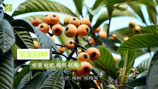 碧螺春的产地-适宜与茶树间种的果树有板栗枇杷梅树等