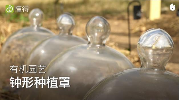 栽培技术:用玻璃罩罩着