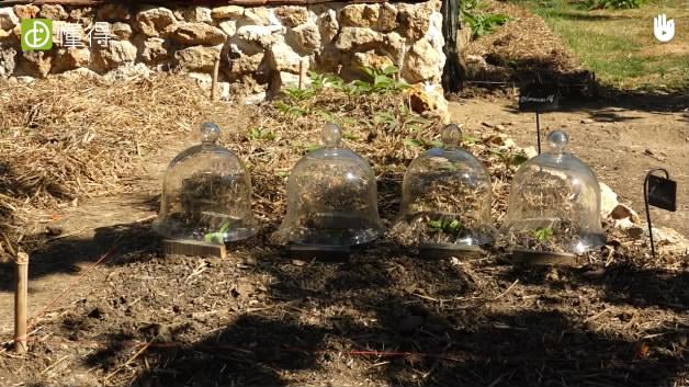 栽培技术:用玻璃罩罩着-正确使用玻璃罩