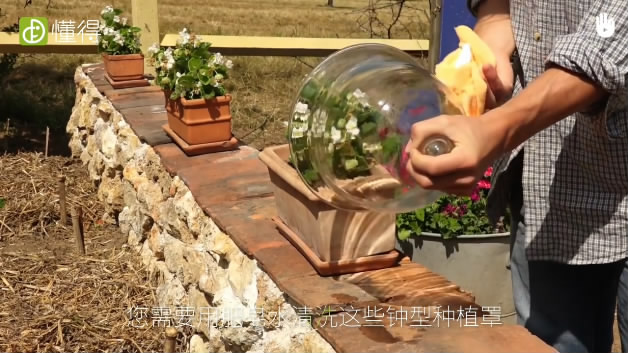 栽培技术:用玻璃罩罩着-定期清洗玻璃罩