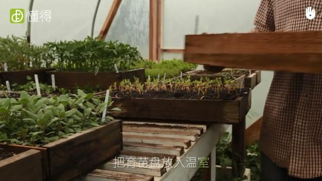 播种育苗技术:小粒种子Ⅰ-将育苗盘放入温室