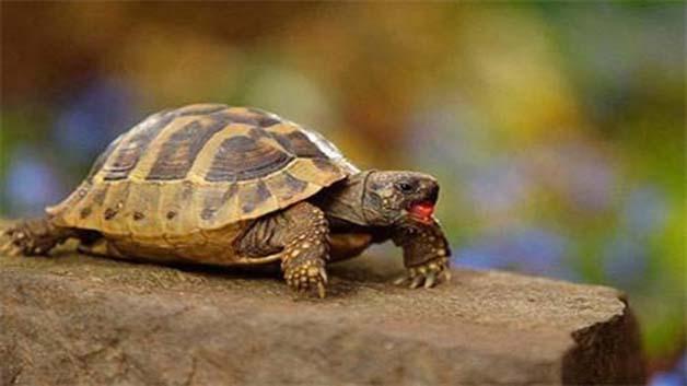 乌龟是一种比较杂食的动物,食性类似猪一样,基本上鱼,肉,饭,菜,它都
